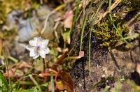 岩陰に咲く節分草