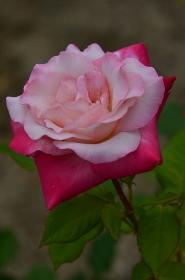 広島の鐘というバラ