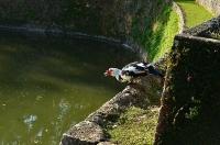 円鑑池に住むバリケン