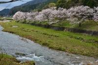 道の駅長門峡のそばの桜並木