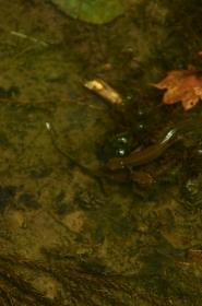 池の中のイモリ