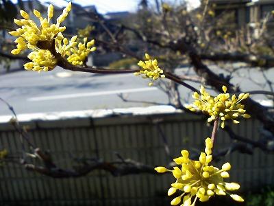 さんしゅゆの花