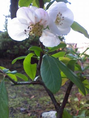 白のぼけの花