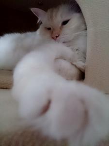 白玉猫ドーン