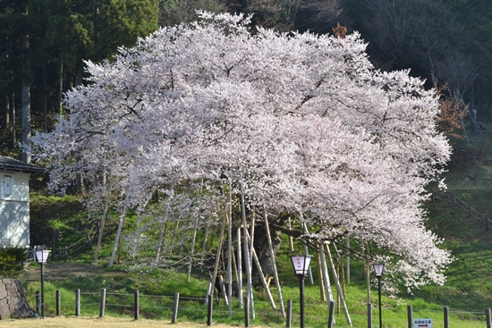 氷菓桜003