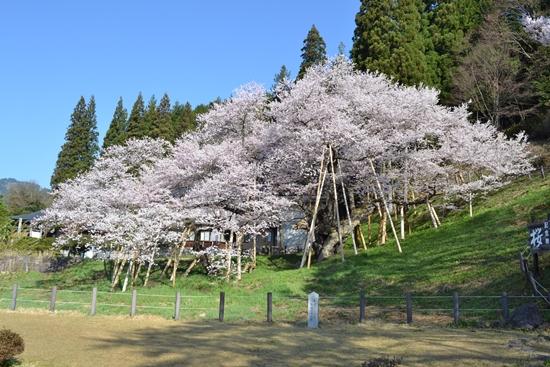 氷菓桜005
