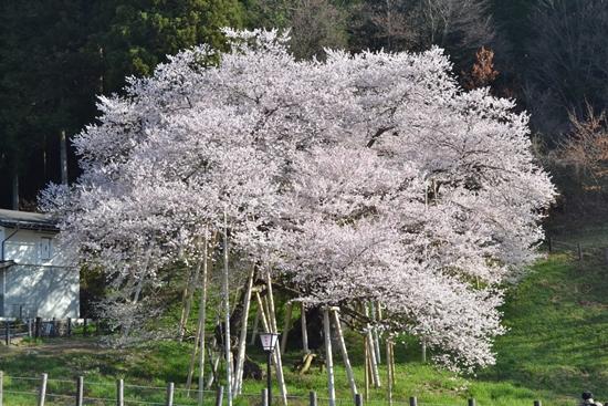 氷菓桜009