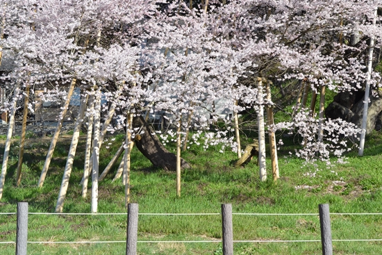 氷菓桜007
