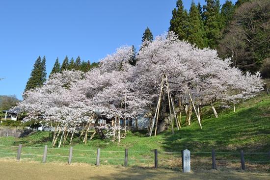 氷菓桜015