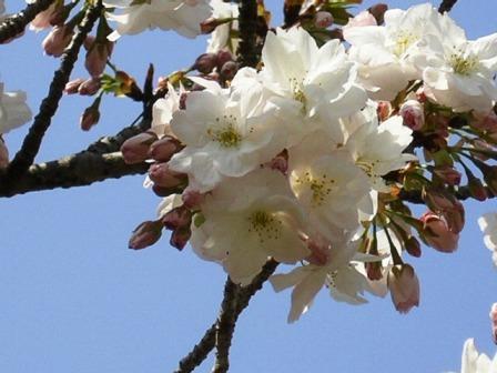 御室桜_H17.04.17撮影