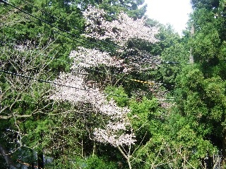 葉桜_H22.04.18撮影
