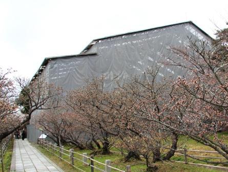つぼみの御室桜_H26.04.05撮影