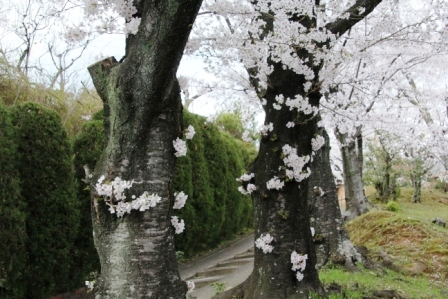 粘りつく桜_H26.04.05撮影