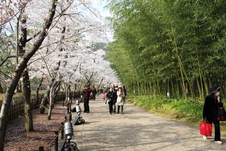 桜と竹の道_H26.04.05撮影
