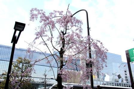 京都タワービル前の桜_H26.04.06撮影