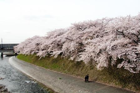 塩小路橋から鴨川の桜_H26.04.05撮影