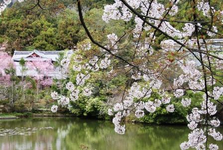 龍安寺鏡容池の桜_H26.04.05撮影