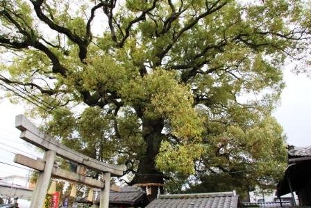 新熊野神社の大クスノキ_H26.04.06撮影