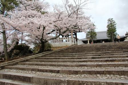 金戒光明寺御影堂前の桜_H26.04.06撮影