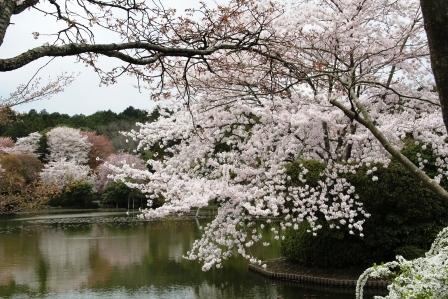 鏡容池と桜_H26.04.05撮影