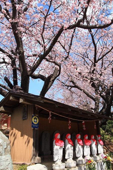 20140321安行桜9a