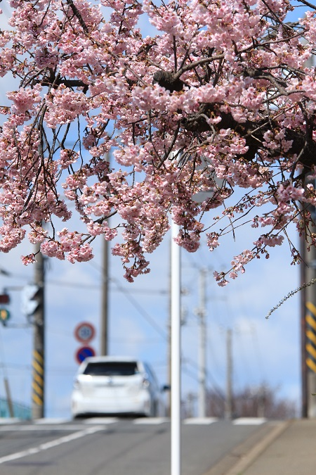 20140321安行桜10a