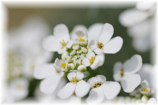 20140412白い花