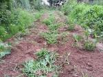 7月6日 落花生よりもよく育つ草。第1回目の除草。
