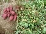 10月10日 傍に飢えていたサツマイモと一緒に収穫。