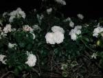 SAオアシスのバラ1