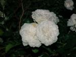 SAオアシスのバラ2