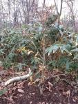 植樹されたブナの苗木