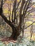 京都府下最大のブナの木2