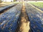 玉葱の植え付け完了