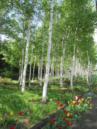 白樺並木と毎回のチューリップ