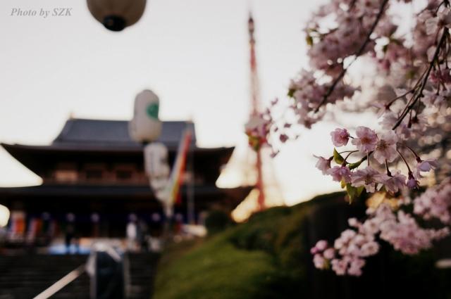 桜越しの増上寺
