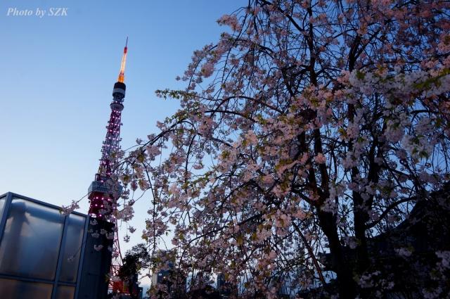 桜越し東京タワー