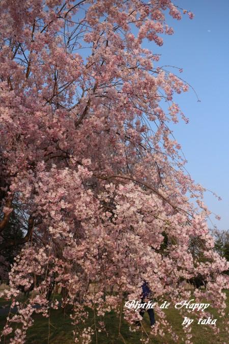 しだれ桜⑤