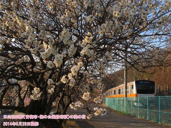 日向和田駅(青梅市・梅の公園最寄駅)の梅の花