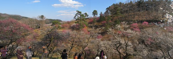 散策路の始点付近。谷を取り囲むように無数のウメの木が植えられている。