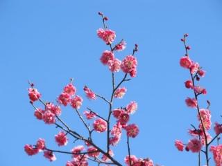様々な梅の花