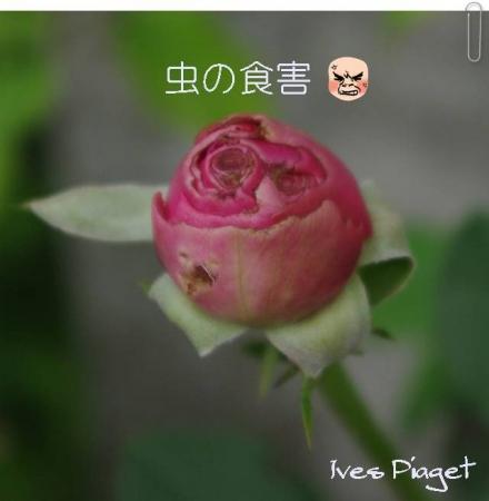 rose1010 016