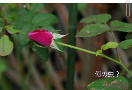 rose1010 009