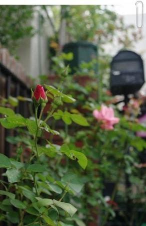 rose1010 015
