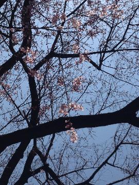 3月25日青山墓地08(1)