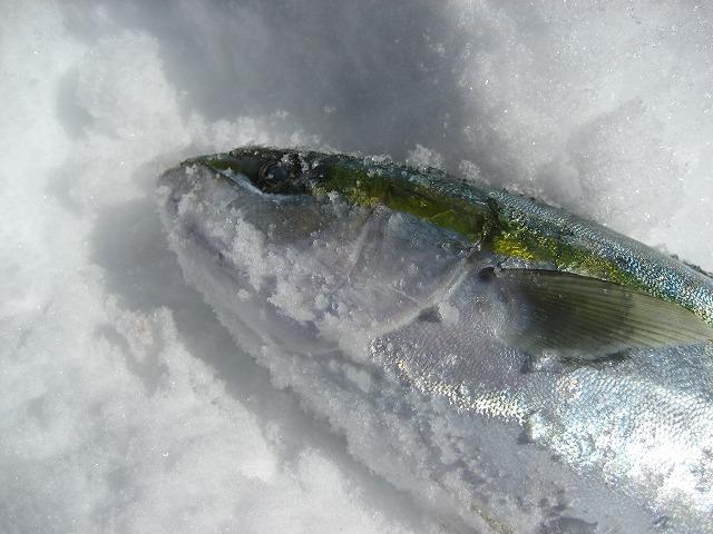 20140306魚のシンクロ (11)