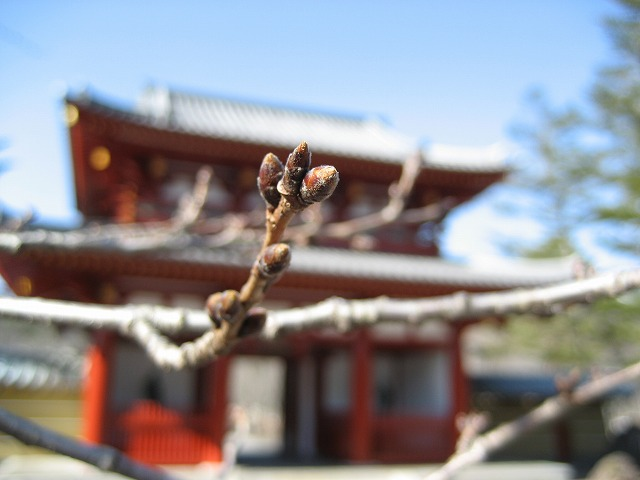 20140327蓼科湖のさくら (10)