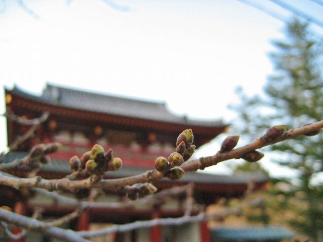 20140408聖光寺のつぼみ (1)