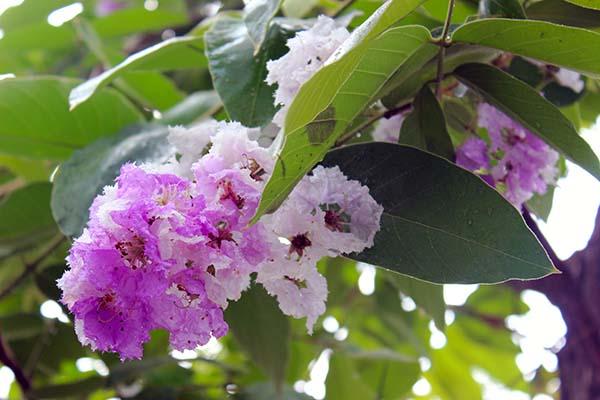 タイの花02