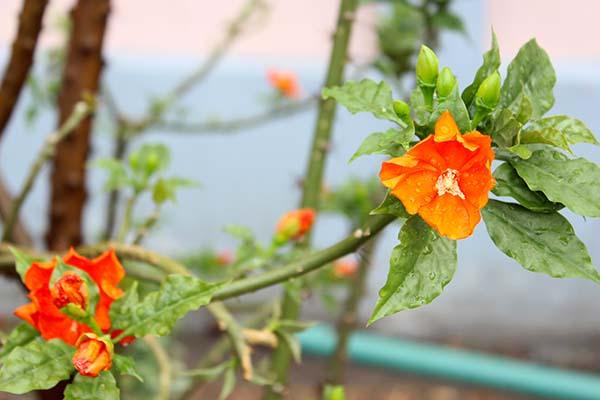 タイの花03